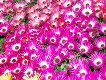 Margaridas de Livingstone (criniflorum do Mesembryanthemum) imagens de stock