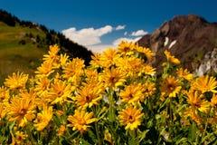 Margaridas de montanha selvagens Imagem de Stock Royalty Free