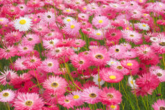Margaridas de papel cor-de-rosa Imagem de Stock