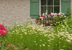 Margaridas de Shasta pelo indicador do jardim Fotos de Stock