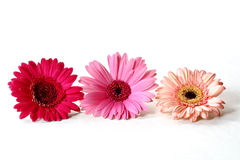 Margaridas do Gerbera Foto de Stock Royalty Free