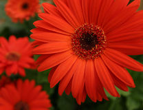 Margaridas do Gerbera Fotografia de Stock Royalty Free