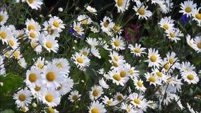 Margaridas do verão que fundem no vento da brisa delicada filme