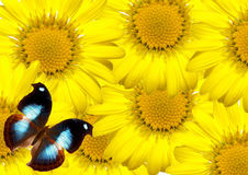 Margaridas e borboleta Fotografia de Stock Royalty Free