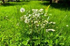 Margaridas e dentes-de-le?o na grama verde em um dia de mola ensolarado imagens de stock