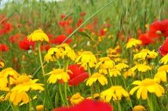 Margaridas e papoilas amarelas Imagem de Stock