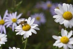 Margaridas e uma abelha HD foto de stock