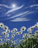 Margaridas em um fundo do céu ensolarado azul fotografia de stock