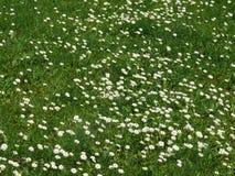 Margaridas em um prado Foto de Stock