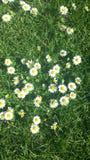 Margaridas ensolaradas brilhantes em uma cama da grama verde luxúria fotos de stock royalty free