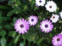 Margaridas lilás que decoram o jardim imagem de stock