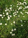 Margaridas no gramado verde Imagens de Stock