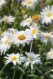 Margaridas no jardim Imagem de Stock