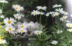 Margaridas no jardim com banho do pássaro Foto de Stock Royalty Free