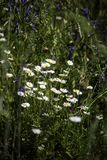 Margaridas no prado Foto de Stock