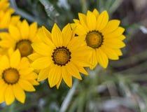 Margaridas, o mais bonito em meu jardim imagens de stock