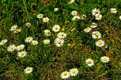 Margaridas pequenas com grama Imagens de Stock
