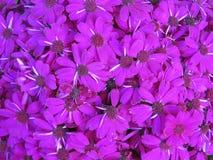 Margaridas roxas Imagens de Stock