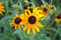 Margaridas selvagens amarelas foto de stock royalty free