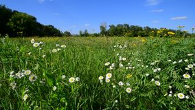 Margaridas selvagens bonitas em um prado do verão em Rússia video estoque