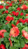 Margaridas vermelhas do gerbera Foto de Stock Royalty Free