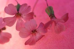 Margarita Fotos de archivo libres de regalías