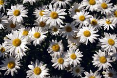 Margarita Foto de archivo libre de regalías