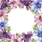 Margarita africana colorida Flor botánica floral Cuadrado del ornamento de la frontera del capítulo Fotos de archivo libres de regalías