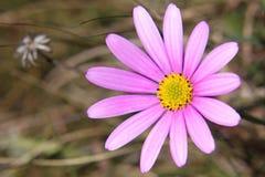"""Margarita africana del †salvaje de la flor-OSTEOSPERMUM """" Foto de archivo"""