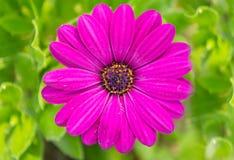 Margarita africana púrpura foto de archivo