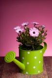 Margarita africana rosada en crisol de riego Imágenes de archivo libres de regalías