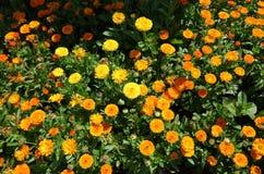 Margarita amarilla Imagen de archivo libre de regalías