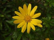 Margarita amarilla foto de archivo
