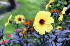 Margarita amarilla Fotos de archivo libres de regalías