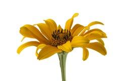 Margarita amarilla aislada en blanco Fotos de archivo