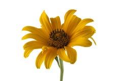 Margarita amarilla aislada en blanco Foto de archivo libre de regalías