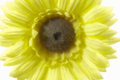 Margarita amarilla brillante hermosa del Gerbera Fotografía de archivo libre de regalías