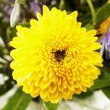 Margarita amarilla, cierre para arriba fotografía de archivo