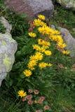 Margarita amarilla; clusii del doronicum Imagenes de archivo