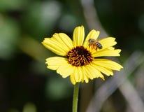 Margarita amarilla con el fondo oscuro y una abeja Foto de archivo