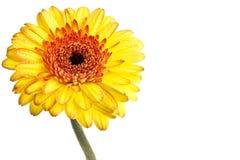 Margarita amarilla del gerber Foto de archivo libre de regalías