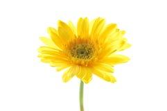 Margarita amarilla del gerber Imágenes de archivo libres de regalías