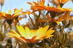 Margarita amarilla del Gerbera Imagenes de archivo