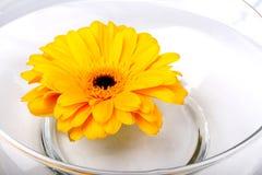 Margarita amarilla del Gerbera Fotos de archivo libres de regalías