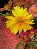 Margarita amarilla del Gerbera Fotografía de archivo