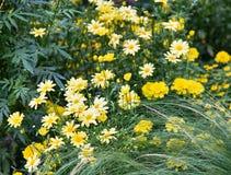 Margarita amarilla del jardín Fotos de archivo libres de regalías