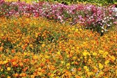 Margarita amarilla en el jardín. Foto de archivo libre de regalías