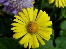 Margarita amarilla en el jardín Imágenes de archivo libres de regalías