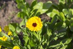 Margarita amarilla en jardín Imágenes de archivo libres de regalías