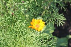 Margarita amarilla en la hierba imagenes de archivo